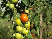 Unripe Tomatos