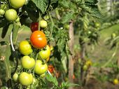 Unriped Tomatoes