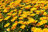 Gazania Rigens. Yellow flowers