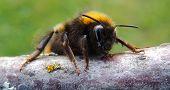 humble-bee