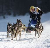 Dogs sled musher