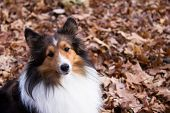 Shetland Sheepdog Sitting In Leaves, Looking At Camera
