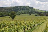 Vineyard At Dorking. Surrey. England