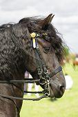 Horse Friesian