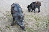 stock photo of razorback  - Two wild boars  burrowing in the ground - JPG