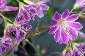 Saxifraga Sukkulente Blume