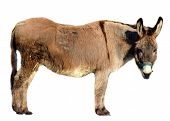 picture of headstrong  - a donkey isolated on white - JPG
