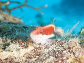 picture of hawkfish  - Freckled hawkfish paracirrhites forsteri sitting on rock at a tropical coral reef - JPG