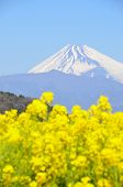 Rape blossoms and Mt.  Fuji
