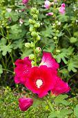 Dark Pink Hollyhocks Flower In The Garden