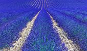 image of plateau  - Lavender flower blooming fields in endless rows as a pattern or texture - JPG