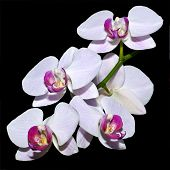 Five Pink Orchids On A Branch