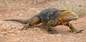 Caminando la Iguana terrestre de Galápagos