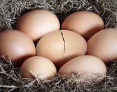 nidifican de huevos marrones en el heno en la granja de pollos