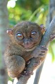 Nature  Smallest Primate  Tarsier