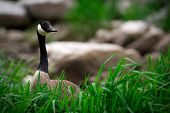 Canada Goose Standing In Grass