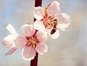 Постер, плакат: Текстурированные старая бумага фон Пчела собирает мед на цветке