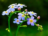 wild forget me not flowers