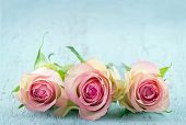 stock photo of blue rose  - Three pink roses on light blue wooden shabby chic background with copy space - JPG