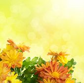 Chrysanthemum floral background