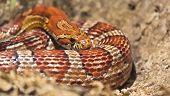 Snake Basking In The Spring Of Suns