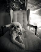 Shih Tzu Dog Lounging On Chair