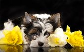 Beaver Yorkshire Terrier and flowers  narcissus