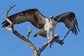 Osprey With Fish (pandion Haliatus)
