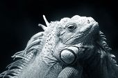 stock photo of giant lizard  - Portrait of a lizard close up in Malaysia