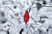 Red leaf and twigs covered with snow in Piedmont, Northern Italy.