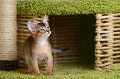 Portrait Of A Cute Somali Kitten