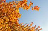 Brilliant gold leaves in Autumn sun