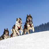 stock photo of sled dog  - sportive dog team is running in the snow - JPG