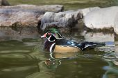 Wood Duck With Rippling Water Reflection
