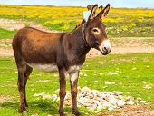 stock photo of donkey  - Donkey Farm Animal brown color standing on field grass  - JPG