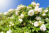 Bush Of White Garden Roses