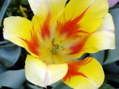 Tulip With An Orange Flame Design