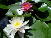 stock photo of water lilies  - white and pink water lilies in a pond - JPG