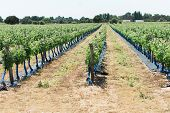 Rows Of Grape Plants In A Wine Vineyard