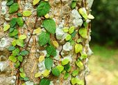 picture of english ivy  - Ivy on tree bark - JPG