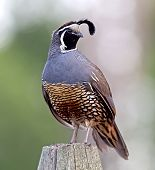 image of quail  - A male California Quail looks regal as it surveys its domain during a hot Okanagan summer - JPG