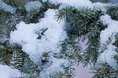 Fresh Snow Thawing In Conifer Tree Branches