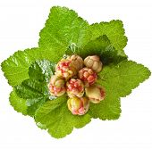 fresh cloudberry ( Rubus chamaemorus) isolated on white background