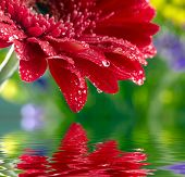 Red daisy-gerbera reflected in the water