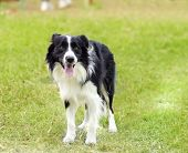 foto of sheep-dog  - A young healthy beautiful black and white Border Collie dog standing on the grass looking very happy - JPG