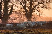 stock photo of moo-cow  - Cattle on a winters morning, Weston subedge near Chipping Campden, Gloucestershire, England.