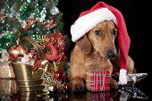 dog dachshund  wearing a santa hat