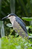 Night heron in wild