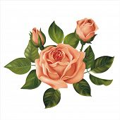 Pink rose on white. Vector illustration.