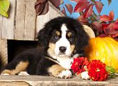 picture of herding dog  - puppy Bernese mountain dog - JPG